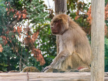 Baboon sitting on logs Stock Photos