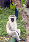 Baboon sitting looking. In Tanzania is a picture vertically royalty free stock photos