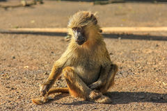 Baboon. Monkey sitting on the ground at Ngorongoro National Park in Tanzania Africa Royalty Free Stock Photo