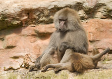 Baboon Sitting Playing. Adult Male Baboon sitting playing with a mate Royalty Free Stock Photos