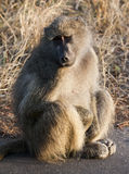 Baboon sitting on the road Royalty Free Stock Photography