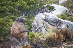 Baboon sitting on a rock yawning on a rainy day - Clarence Drive, between Gordons Bay and Kleinmond in the Western Cape, South Afr stock images