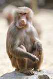 Baboon, sitting on a rock Royalty Free Stock Photo