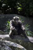 Baboon sitting on a rock at the zoo Royalty Free Stock Photography