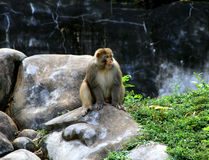 Baboon sitting on rocky surface. India Royalty Free Stock Photo