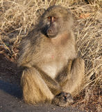Baboon sitting on the side of a road Royalty Free Stock Images