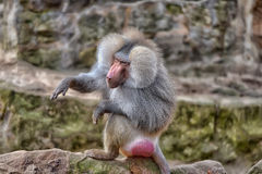 Baboon. Sitting on a stone Royalty Free Stock Photography