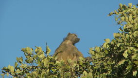 Baboon sitting on top of tree. Video of baboon sitting on top of tree stock video