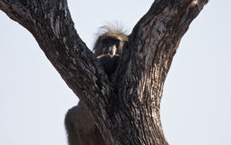 Baboon sitting in a tree Stock Photography