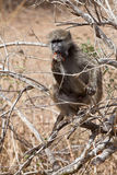 Baboon sitting in a tree Stock Image