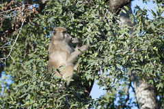 Baboon eating berries Royalty Free Stock Photo