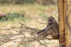 Baboon Sitting in Tree Looking at Camera. African baboon sitting in tree looking at camera in Lake Nakuru, Lenya Africa royalty free stock images