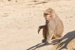 Baboon. Sitting and watching the area Stock Photo