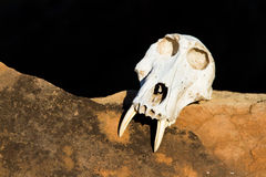 Baboon skull Royalty Free Stock Images