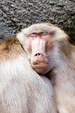 Baboon sleeping. Next to his buddy closeup (papio hamadryas Royalty Free Stock Images