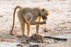 Baboon snacking on plants Stock Image