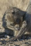 Baboon, South Africa. Kruger National Park stock photo