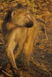 Baboon in South Africa. Baboon with intent gaze in south africa stock photos