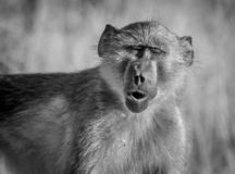 Baboon, South Africa. Kruger National Park royalty free stock photos