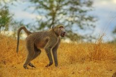 Baboon South Africa. Male of Chacma Baboon species Papio ursinus, runs in the dry grass. Cape baboon it is one of the largest of all monkeys. Kruger National stock image
