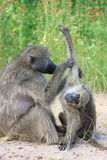 Baboon south africa. Monkey puppy royalty free stock photo