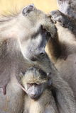 Baboon south africa. Monkey puppy stock photo