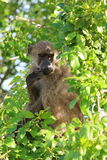 Baboon south africa. Monkey puppy royalty free stock photography