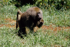 Baboon south africa. Monkey puppy tanzania royalty free stock image