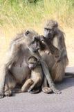 Baboon south africa. Monkey puppy tanzania stock photo