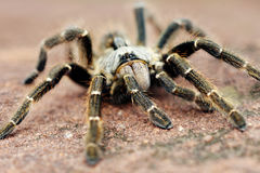 Baboon spider. The baboon spider, Ceratogyrus, is often called tarantula. Is a giant among his comrades 13-90 mm however this was only 60mm royalty free stock photos