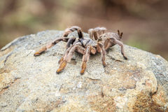Baboon spider on a rock. Royalty Free Stock Photo