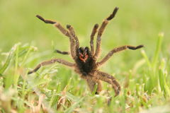Baboon spider Royalty Free Stock Photo