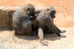 Baboon sratching partner's back Stock Photos