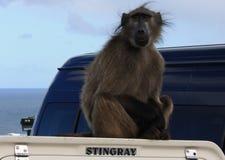 Baboon or stingray? Royalty Free Stock Image