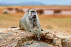 Baboon on stone. In National park of Kenya, Africa stock photos