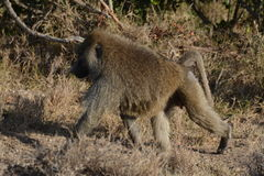 Baboon Royalty Free Stock Photo