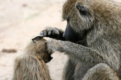 Baboon -  Tanzania, Africa Royalty Free Stock Images