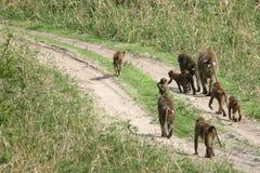 Baboon -  Tanzania, Africa Stock Image