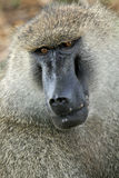 Baboon - Tanzania, Afrika Arkivbilder