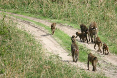 Baboon - Tanzania, Afrika Fotografering för Bildbyråer