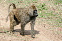 Baboon - Tanzania, Afrika Royaltyfri Bild