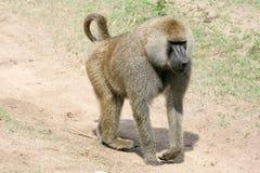 Baboon - Tanzania, Afrika Arkivfoto