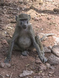 Baboon in Tanzania. Olive baboon Papio in National Park Lake Manyara Conservation Area in Tanzania . Africa stock photo