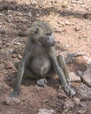 Baboon in Tanzania. Olive baboon Papio in National Park Lake Manyara Conservation Area in Tanzania . Africa stock image