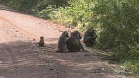 Baboon in Tanzania Royalty Free Stock Photography