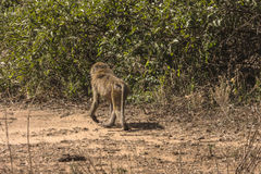 Baboon in Tanzania. Olive baboon Papio in National Park Lake Manyara Conservation Area in Tanzania . Africa stock photography