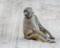 Baboon, Tarangire National Park, Tanzania, Africa royalty free stock photos