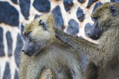 Baboon - Tarangire National Park - Wildlife Reserve in Tanzania, Royalty Free Stock Photography