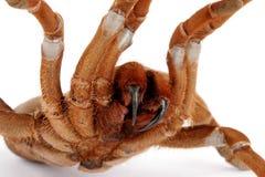 baboon tarantula βασιλιάδων crawshayi citharischius στοκ εικόνα