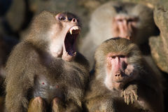 Baboon teeth Stock Photos